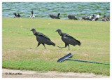 20120322 Mexico 1003 SERIES - Black Vultures and  Friends.jpg