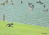 20120322 Mexico 1053 SERIES - Peregrine Falcon & Am Coot HP.jpg