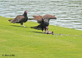 20120322 Mexico 1134  SERIES - Turkey Vultures.jpg