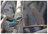 20120322 Mexico 1438 SERIES - American Pygmy Kingfisher (m).jpg