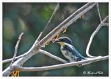 20120322 Mexico 1599 Green Kinfisher (f).jpg