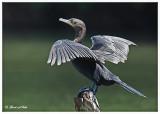 20120322 Mexico 1591 Neotropic Cormorant.jpg