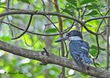 20120324 044 Ringed Kingfisher.jpg