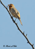 20120322 Mexico 020 House Finch, Yellow Variant.jpg
