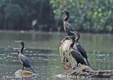 20120322 Mexico 1506 Neotropic Cormorants.jpg