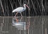 20120322 Mexico 1549 SERIES - White Ibis.jpg