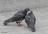 20120322 196 SERIES - Pigeons.jpg