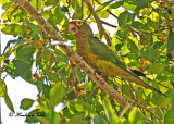 20120322 Mexico 1390 Orange-fronted Parakeet.jpg
