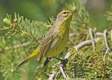 20120505-1 263 SERIES - Palm Warbler.jpg
