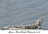 20120324 412 Iguana.jpg