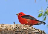 20120507-1 024 Scarlet Tanager.jpg