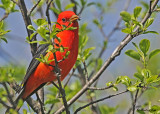 20120507-1 175 Scarlet Tanager.jpg