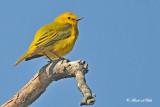 20120507-1 075 Yellow Warbler.jpg