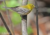 20120505-2 202 Pine Warbler.jpg