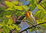 20120511-1 1064 Blackburnian Warbler.jpg