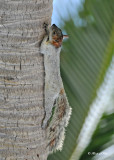 20120322 Mexico 832 Mexican Gray Squirrel - Huatulca, Mex.jpg