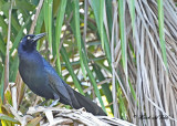 20120324 152 Great-tailed Gracle HP, Puerto Chiapas, Mex.jpg