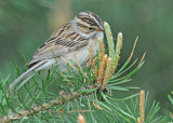 20120517-1 251 SERIES - Clay-colored Sparrow.jpg