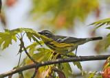 20120509 050 SERIES - Magnolia Warbler.jpg
