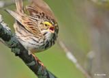 20120517 436 Savannah Sparrow.jpg