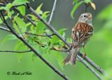 20120525 649 SERIES - Field Sparrow.jpg