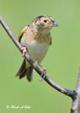 20120517 939 SERIES - Grasshopper Sparrow.jpg