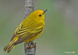 20120509 012 SERIES - Yellow Warbler.jpg