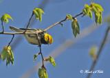 20120517 015 Black-throated Green Warbler.jpg