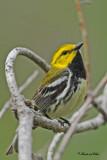 20100609 279 Black-throater Green Warbler.jpg
