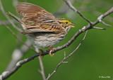 20120517 512 Savannah Sparrow.jpg
