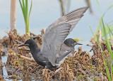 20120620 348 Black Terns.jpg