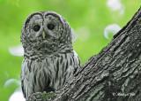 20120620 558 1r1 Barred Owl.jpg