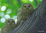 20120620 610 1r2 Barred Owls.jpg