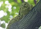 20120620 601 1r1 Barred Owls.jpg