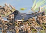 20120620 251 Black Tern.jpg