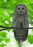 20120620 546 Barred Owl.jpg