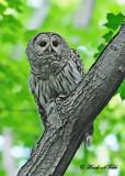 20120620 594 Barred Owl.jpg