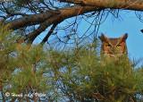 20050322 DSC_0021 Great Horned Owl.jpg