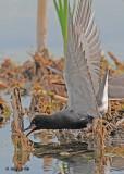 20120620 344 SERIES - Black Terns.jpg