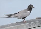 20120620 295 SERIES - Black Tern.jpg