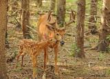 20120712 - 1 144 SERIES - White-tailed Deer.jpg