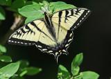 20120531 277 Tiger Swallowtail.jpg