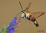 20120710 - 2 066 Clearwing Hummingbird Moth.jpg