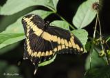 20120721 068 SERIES - Giant Swallowtail.jpg