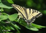 20120607 558  SERIES - Tiger Swallowtail.jpg