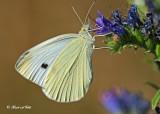 20120711 - 2 206 Cabbage White.jpg