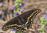 20120712 - 1 433 SERIES -  Black Swallowtail.jpg