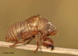 20120716 - 2 199 Cicada Exoskeleton.jpg