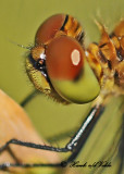 20120712 - 2 294  SERIES -  White-faced Meadowhawk3.jpg