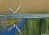 20120716 178 SERIES - Common Tern.jpg